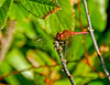 Band-winged Meadowhawk, Kennebunk Bridle Path, Kennebunk ME