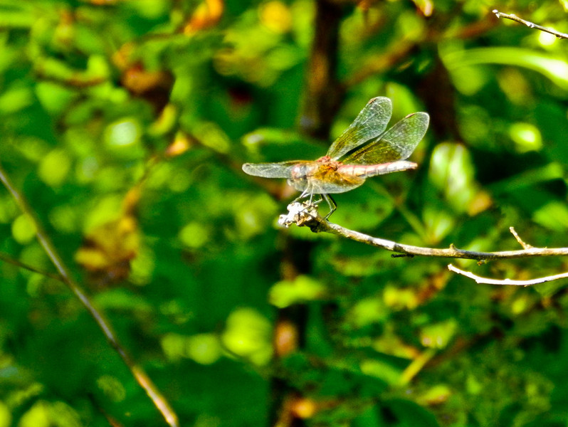 Band-winged Meadowhawk (fm ?), Kennebunk Bridle Path, Kennebunk ME