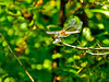 Band-winged Meadowhawk (fm ?), Kennebunk Bridle Path, Kennebunk ME