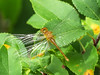 emergent White-faced Meadowhawk (?), Factory to Pasture Pond, Kennebunk ME