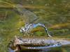 Canada Darner, Factory Pasture Pond, Kennebunk ME