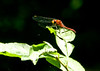 Whitefaced Meadowhawk, Emmons Preserve, Kennebunkport, ME