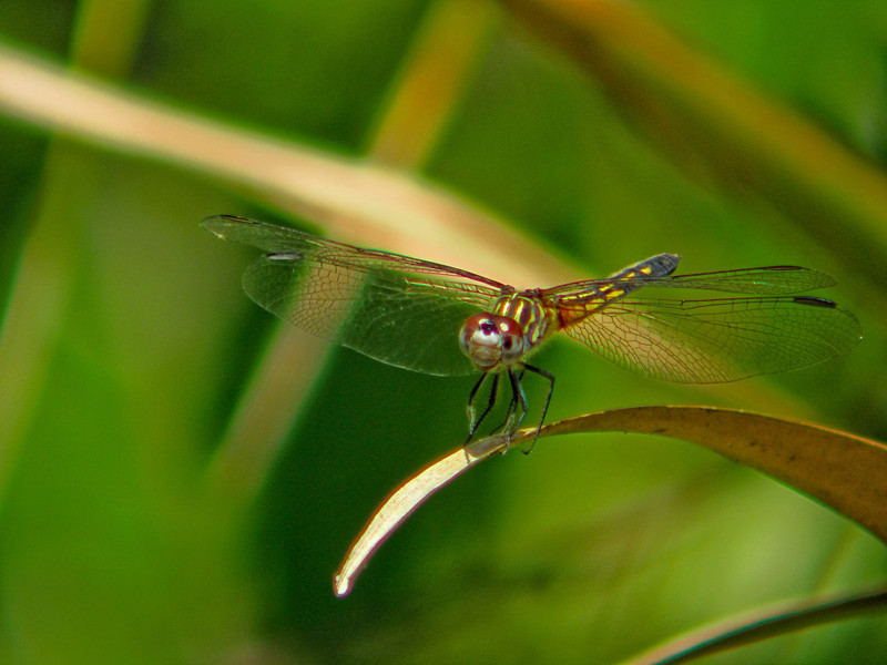 Dragonfly, Vaill Point Santuary, St. Augustine, FL 4/10 DigiScoped