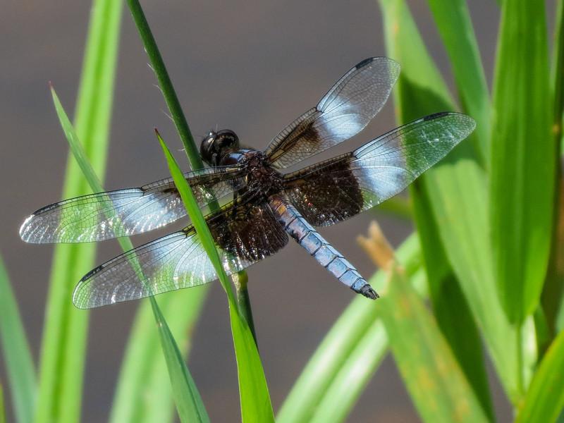 Widow Skimmer, Roger's Pond, Kennebunk ME