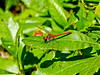 Whitefaced Meadowhawk, Kennebunk Bridle Path, Kennebunk ME