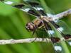Twelve-spotted Skimmer, Factory to Pasture Pond, Kennebunk ME
