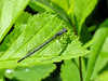 Fragile Forktail (fm ?), Kennebunk Bridle Path, Kennebunk ME