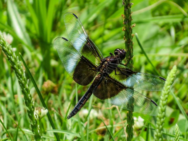 Widow Skimmer (Im. male), Roger's Pond, Kennebunk ME