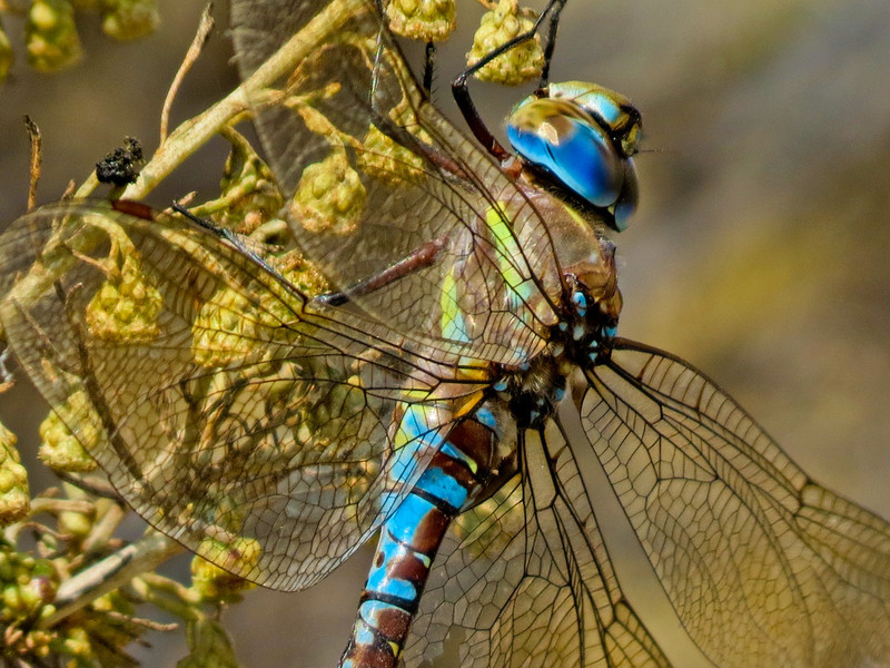 Paddle-tailed Darner, San Joaquin Wildlife Sanctuary, Irvine CA