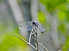 Seaside Dragonlet, Kennebunk Bridle Path, Kennebunk ME