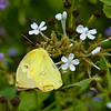 Clouded Sulphur?: North American Butterfly Association Gardens: Mission TX 11/2008