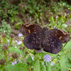 Sickle-winged Skipper: North American Butterfly Association Gardens: Mission TX 11/2008