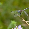 Dragonfly: North American Butterfly Association Gardens: Mission TX 11/2008