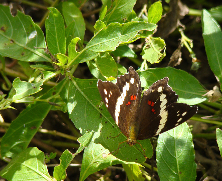 Banded Peacock: North American Butterfly Association Gardens: Mission TX 11/2008