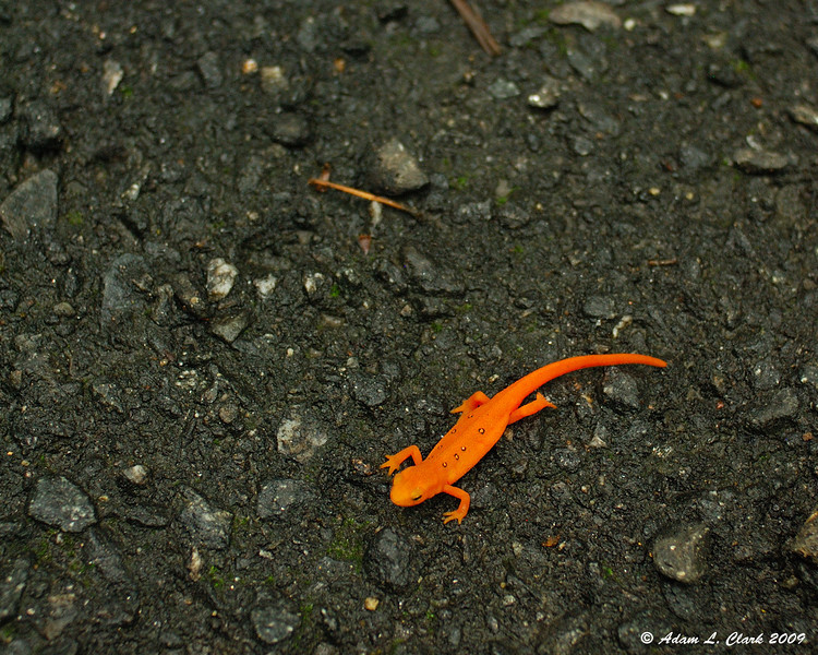 Eastern / Red-spotted Newt