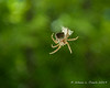 A Barn Spider (Araneus cavaticus) building its web near the door to our house