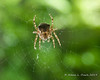 A Barn Spider (Araneus cavaticus) waiting in its web near the door to our house