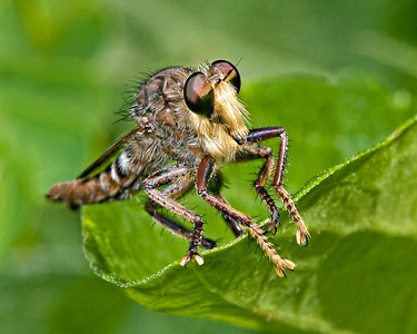 Robber Fly - Mercer Gardens, TX - 70-200mm w/500D diopter + Flash There are over 4,000 recognized species of Robber Flies. They are considered the raptors of the insect world.