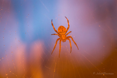 Marble Spider (through glass in low light)