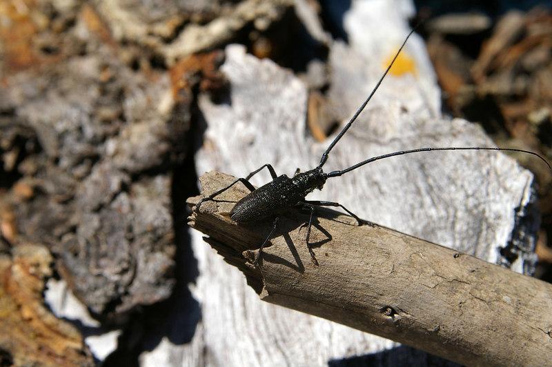 BeetleBlack