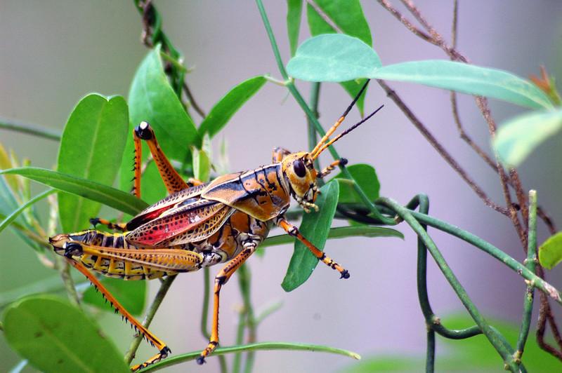 grasshopper34