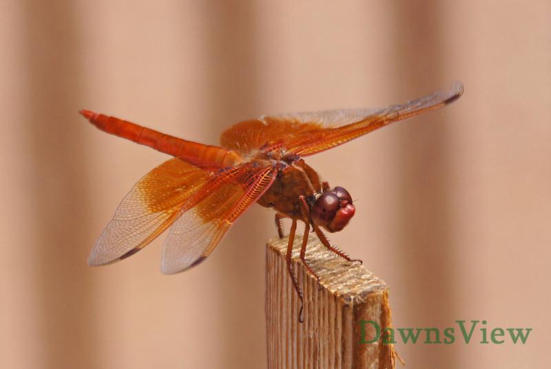 Dragonfly in July 2012, Tucson Arizona
