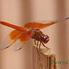 Dragonfly in July 2012, Tucson Arizona