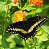 Swallowtail in SC