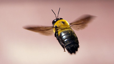 Bee in flight. DT5231