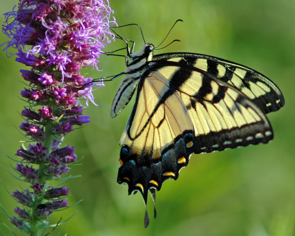 Yellow Tiger Swallowtail Butterfly on Gayfeather Plant