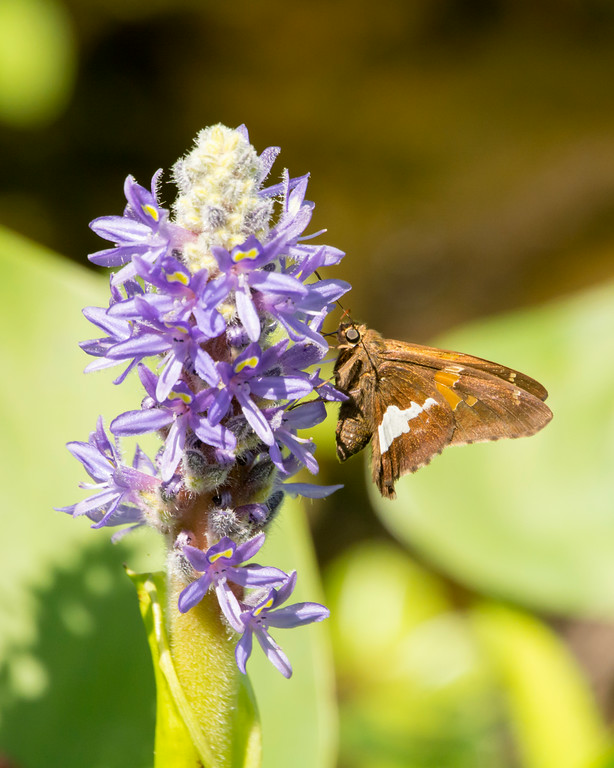 DX7509 Silver Spotted Skipper