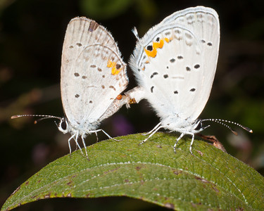 Eastern Tailed-Blue - Cupido comyntas - Male on left; female on right.