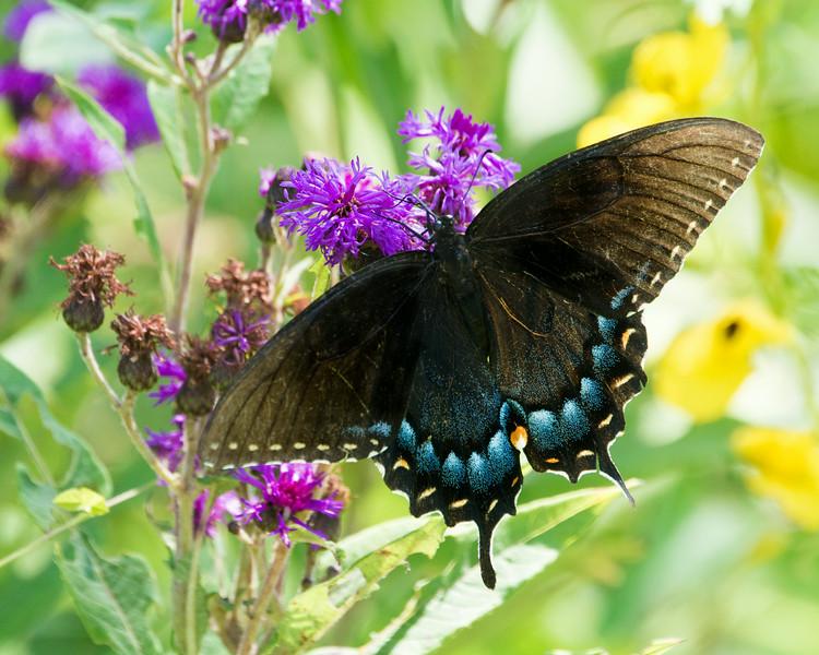 DX7066 Black Eastern Tiger Swallowtail
