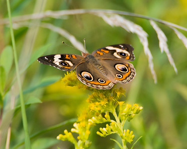 Junonia coenia - Common Buckeye (Male) (Females have blue between orange = sign bars on the leading edge.)