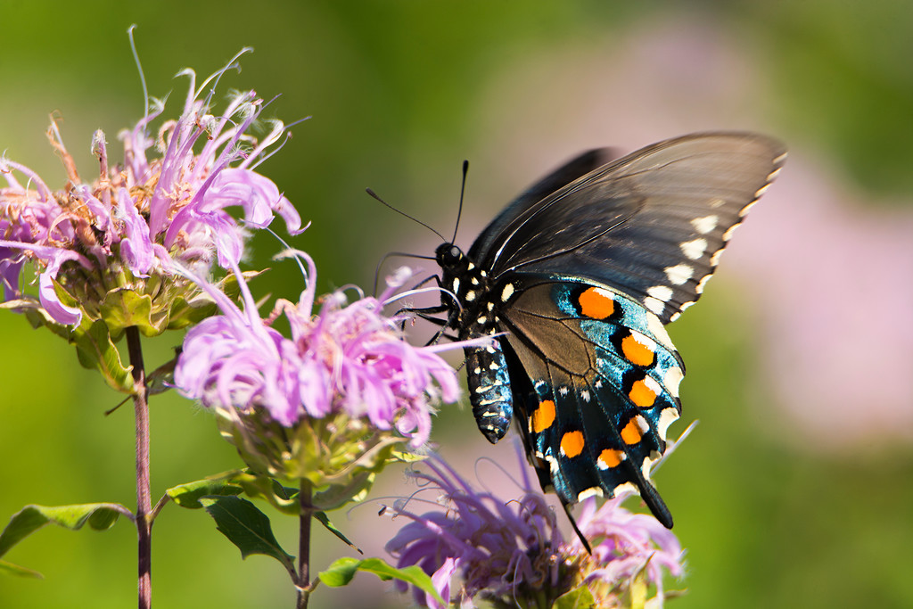 FX7054 Pipevine Swallowtail - Battus philenor