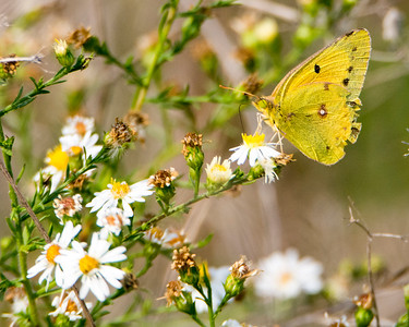 Orange Sulphur Colias eurytheme GX6276