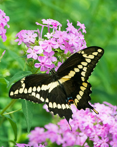 Giant Swallowtail (Papilio cresphontes) (f) Back