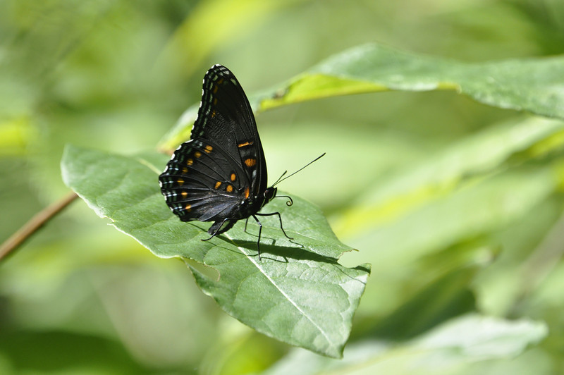 Red-spotted Purple (Limenitis arthemis astyanax)