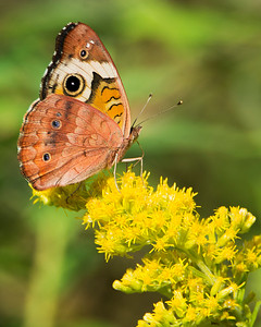 Common Buckeye M GX3429