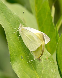 Pieris Rapae Cabbage White MDX8813