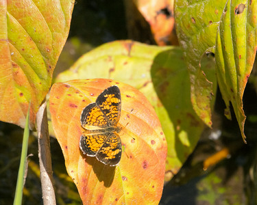 DX7255 Phyciodes tharos - Pearl Crescent