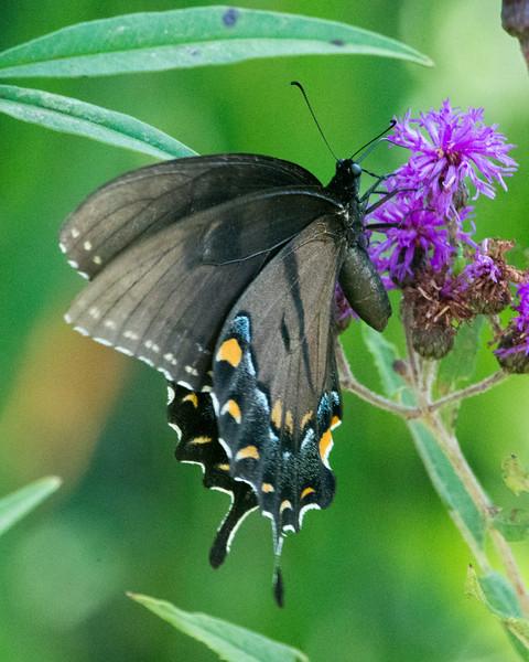 DX7009 Black Eastern Tiger Swallowtail