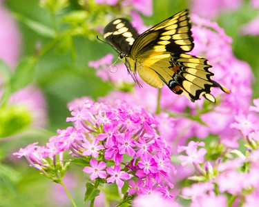Giant Swallowtail (Papilio cresphontes) (f) in flight