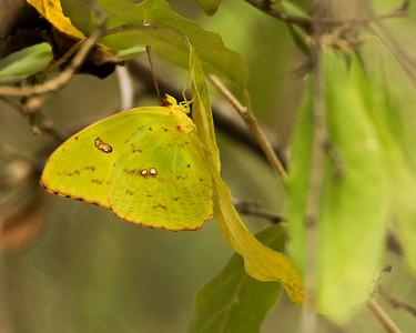 Cloudless sulphur - Phoebis sennae