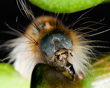 Forest Tent Moth Caterpillar 2763