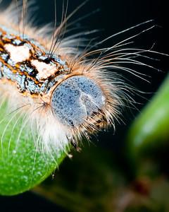 Forest Tent Moth Caterpillar 2746