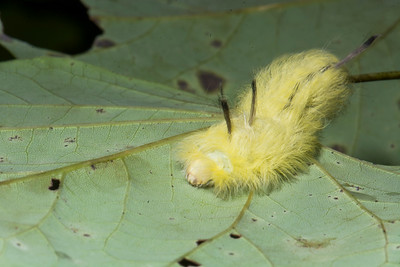 American Spotted Silkworm Moth Caterpillar