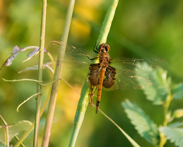 Red Saddlebags Sunrise