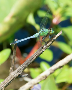 Eastern Pondhawk (Immature Male)