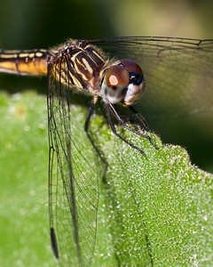 Blue Dasher (Pachydiplax longipennis) female